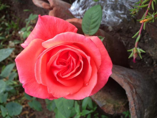 Прекрасни рози