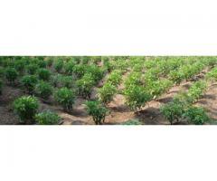 Босилек (Ocimum basilicum) – Технология за отглеждане